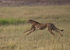 Cheetah hunting a Thomson's Gazelle.  The Gazelle had a lucky escape and the cheetah had to wait for breakfast.  Amboseli National Park,  Kenya.