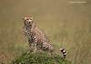 Masai Mara cheetah .