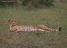 Cheetah at rest.