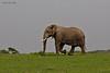 Ndutu  Elephant .