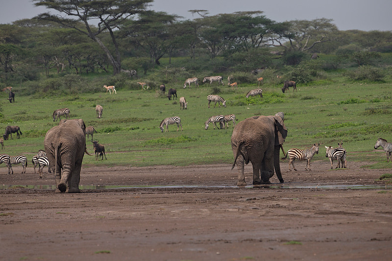 How many different animals can you find?<br /> Not only the two Elephants sharing this habitat but also Wildebeest , Gazelles and  Zebras as well..