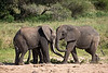 Young Bull elephants at play  . Tarangiri National Park   Tanzania.