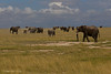 Amboseli national park Elephants  have just enjoyed an evening . mud bath