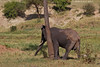 Back scratch for an itchy Elephant.  Tarangiri National Park  Tanzania.