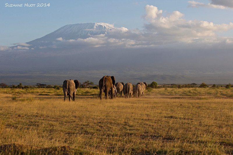 Mount Kilimanjaro with Elephants heading home for the evening.