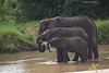 Midday thirst for this family of Elephants who came down to the Taringiri river to slake their thirst and bathe to cool off from the hot sun.