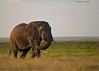 A very old Bull Elephant.He  has had many battles during his life.His broken tusks tell the story of his life .Amboseli National Park Kenya ,