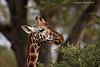Rothschild's  Giraffe, Lake Nakuru Kenya
