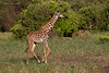 Masai Giraffe running. they almost appear to glide when doing so..  Tarangiri, Tanzania.
