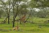 Masai Giraffe with baby.  Ndutu  Tanzania.