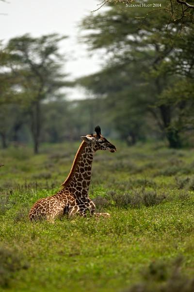 Giraffe calf at rest . Ndutu  Tanzania.