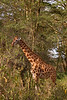 Nakuru Lake. Giraffe