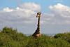 Lord of all he surveys.  Amboseli , Kenya.
