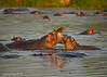 Playtime at sunset for these Hippo.  Masai Mara.