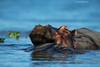 Lake Naivasha Hippo.  Kenya.