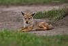 African Jackal cub.
