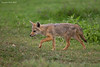 Jackal cub looking for mice to hunt and capture for a nice tasty snack.