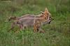 Jackal Pups wrestling with a stick and having fun.   Ngorongoro Crater  Tanzania.