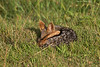 Siesta time for this African Jackal.
