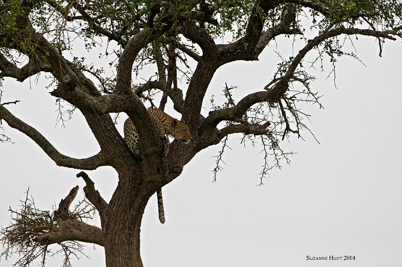 Serengeti Leopard from afar.