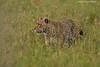 Serengeti Leopard on the prowl.