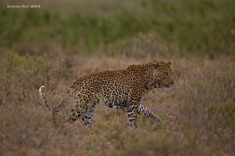 Male Leopard on the prowl. Nakuru Lake Kenya.
