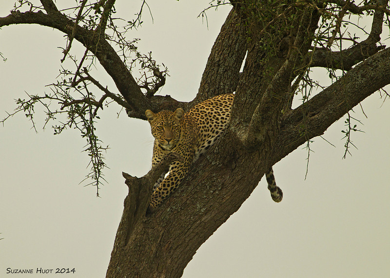 A horrible grey day with poor light but still  too good an opportunity to miss watching and photographing  this Leopard up a tree. A sight that that I have rarely had the good fortune to see.    Serengeti National park  Tanzania