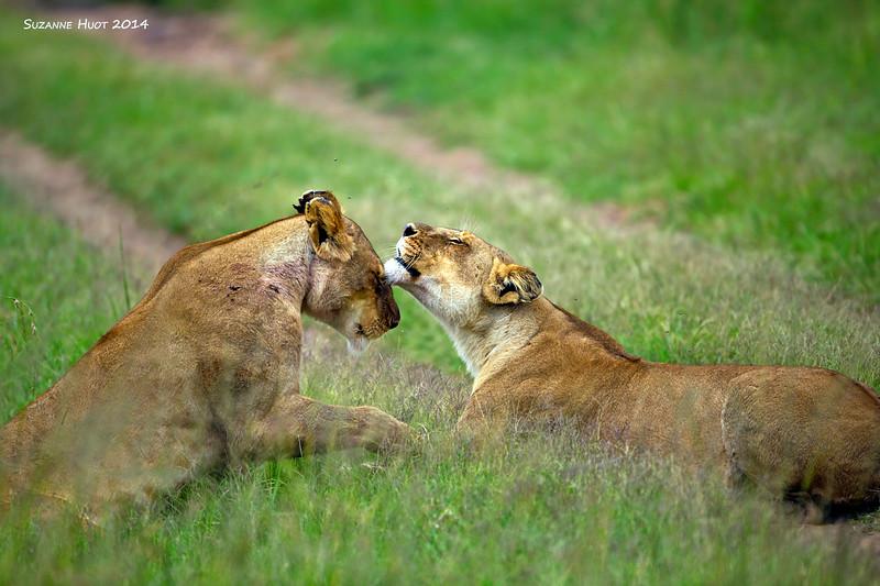 Sister Lionesses.  Masai Mara ,  Kenya.
