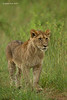 Lion cub  a future King..