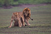 Courtship, Lion style