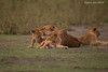 What big teeth you have! Lioness and cubs .<br /> Ndutu  Tanzania.