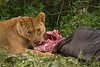 Lioness with fresh kill of a Wildebeest.