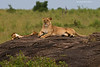 Masai Mara Lioness with her month old cubs.