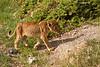 Very young Lion cub.  Amboseli  Kenya.