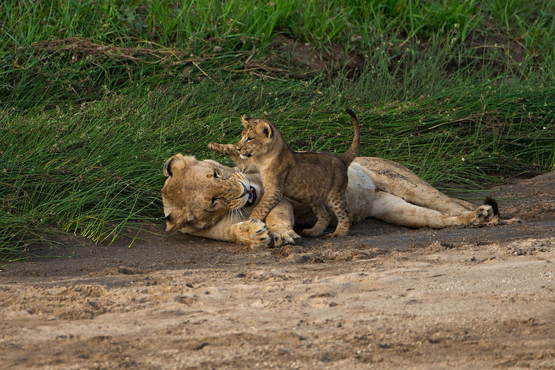 """Play time with Mom. A wonderful early morning suprise find for us  to find  three Lioness""""s with cubs. The only lions we saw in Taringire National park.  Tanzania."""