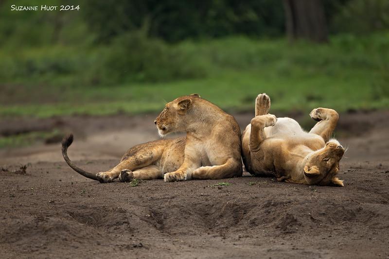 A little R and R. Lioness sisters . Ndutu , Tanzania.