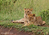 Pair of cubs from same pride but different mothers