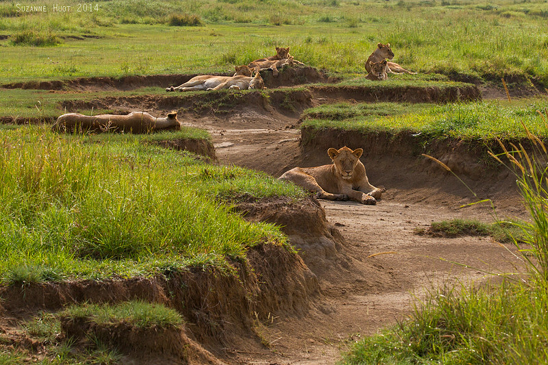 Under the hot African Sun,this pride of Lionesses and cubs are trying to keep cool in the dried up stream.  Serengeti  Tanzania.