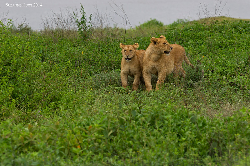 A pair  of cubs from the same pride but probably different Mothers . .  Ndutu   Tanzania.
