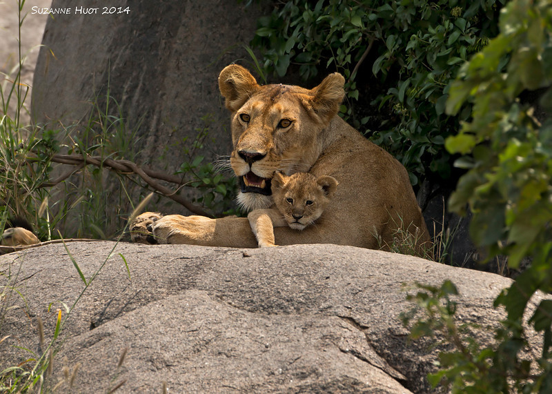 Mother love .Cub is around two weeks old.<br /> Serengeti, Tanzania.