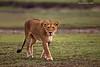 Lioness on the prowl.  Ndutu  Tanzania.