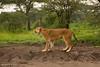 A wet day at Ndutu.  Tanzania.