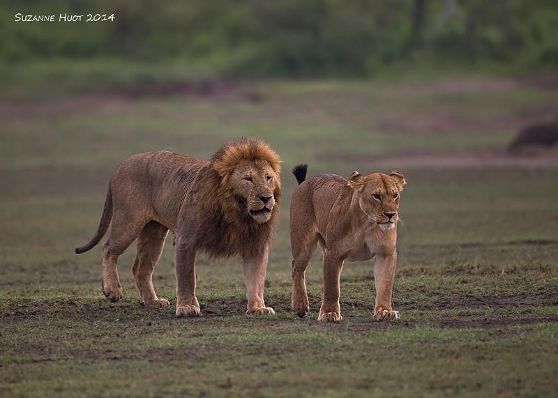 Courting couple, Ndutu, Tanzania.