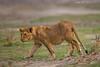 Lion cub.  Ndutu  Tanzania.