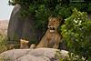 Lioness with playful cub. Serengeti  ,Tanzania.