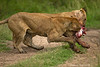 Sisters fighting over the remains of a Warthog they had just killed.