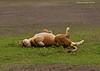 Nothing like a nice roll on the wet grass.