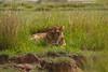 Serengeti Lioness at rest.
