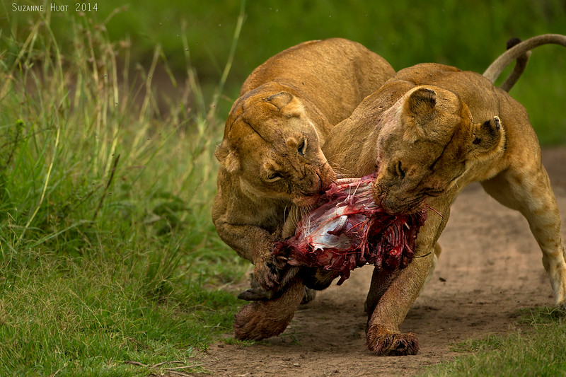 Which sister will end up with the Lions share?