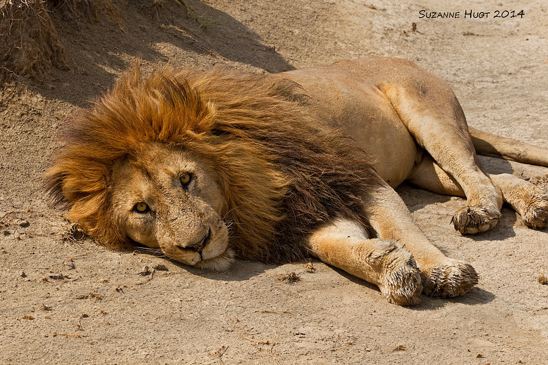 Trying to keep cool in the hot midday sun.<br /> Full frame .